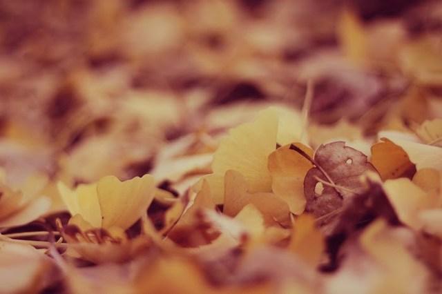 秋の終わりを告げるイチョウの絨毯のフリー写真画像 GIRLY DROP (482755)